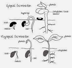 epigeal dan hipogeal