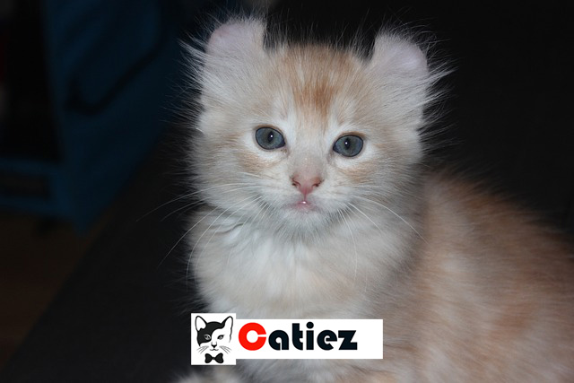 American Curl cat -  all you want to know about American Curl cats