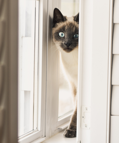 cream and grey cat peeking out through a gap in the window