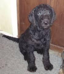 Chesapeake Bay Retriever Poodle mix  (ChesaPoo) Temperament, Size, Adoption, Lifespan