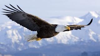 خلفيات طيور جارحة النسر الامريكي