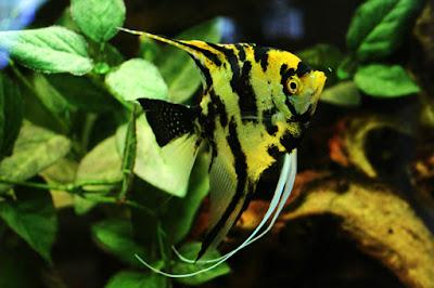 Cara Budidaya Ikan Manfish