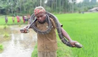 Pria paruh baya tangkap ular king cobra