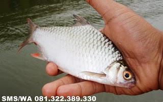 Essen Oplosan Untuk Ikan Tawes