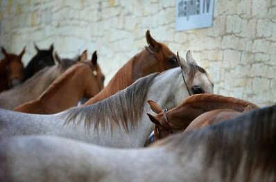 من أعرق سلالات الخيول في العالم