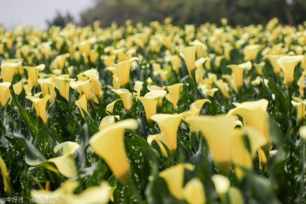 台中外埔黃色海芋田免費賞花拍美照,高鐵觀景台觀賞列車呼嘯而過