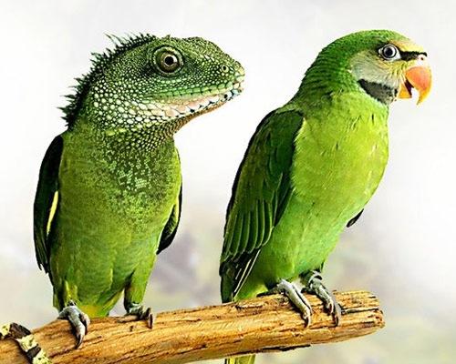 Iguana Keet
