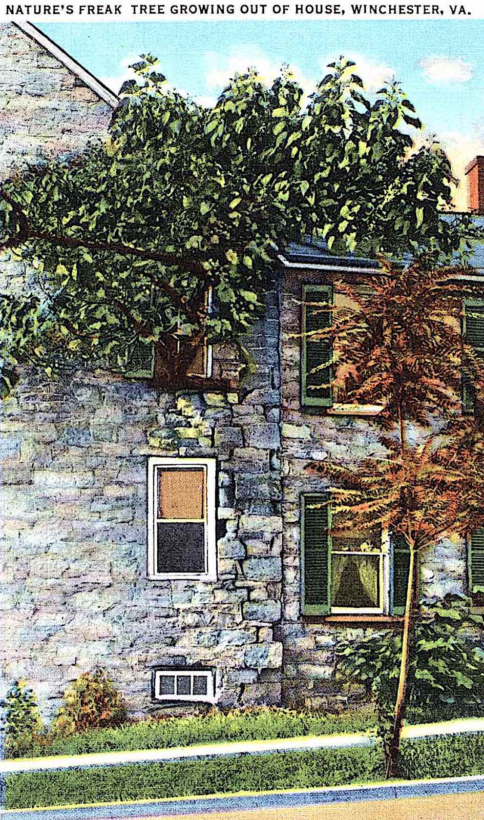 a post card of a tree growing out of a house, Winchester Vermont USA