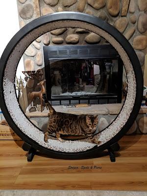 Bengal cat running on giant cat wheel