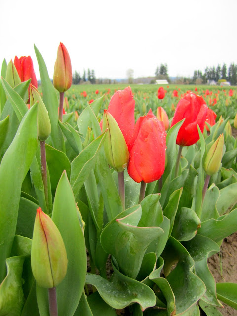 Red tulips at Woodburn Tulip Festival in Oregon
