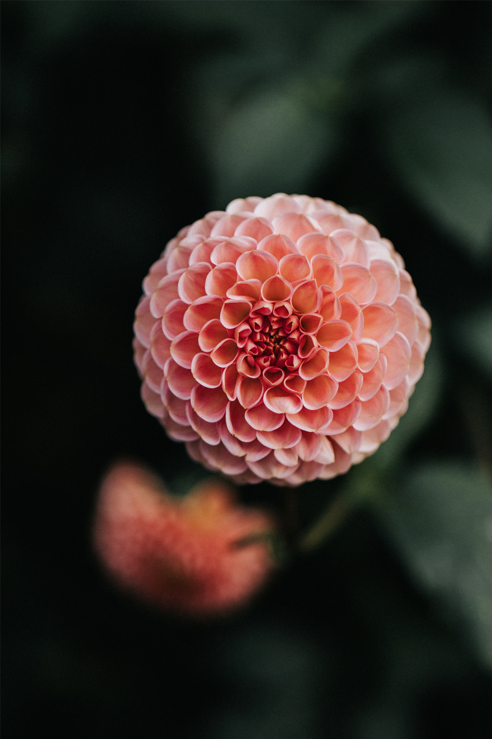 a close-up picture of a dahlia flower head