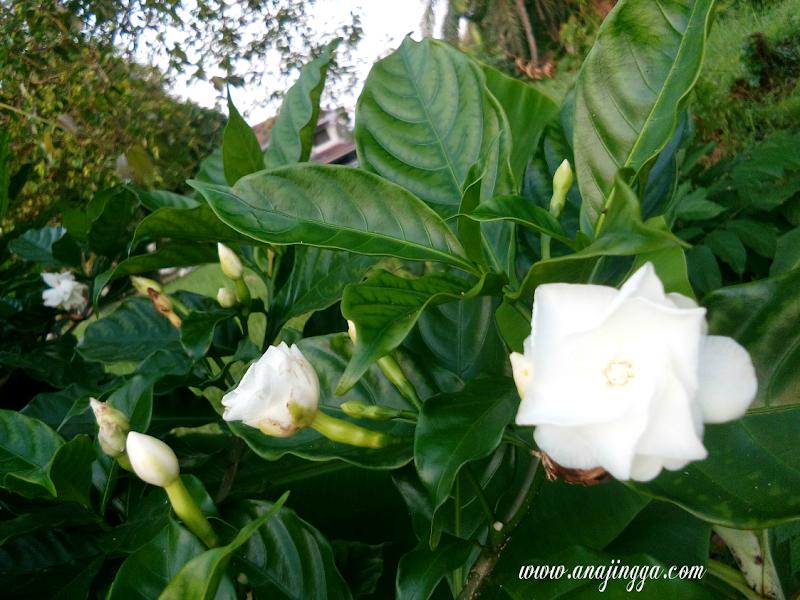 Bunga Melur Kuntuman Desa