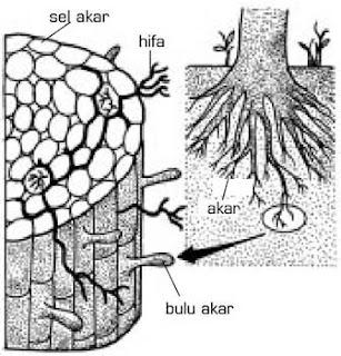 struktur tubuh Zygomycota mikoriza