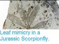 https://sciencythoughts.blogspot.com/2013/12/leaf-mimicry-in-jurassic-scorpionfly.html