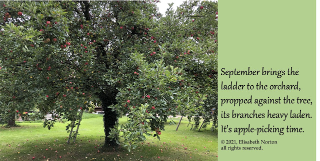Picture of a ladder propped up next to an apple tree with many red apples. Poem: September brings the ladder to the orchard, propped against the tree, its branches heavy laden. It's apple-picking time. © 2021, Elisabeth Norton all rights reserved.