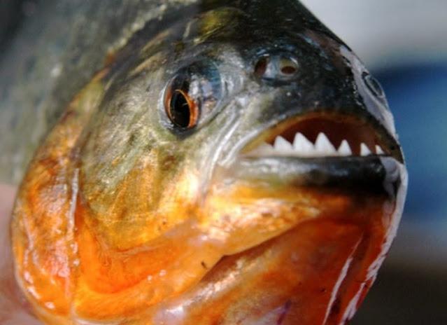Fakta Menarik Ikan Piranha