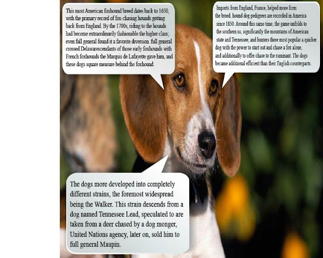 American Foxhound | American Foxhound Breed Information