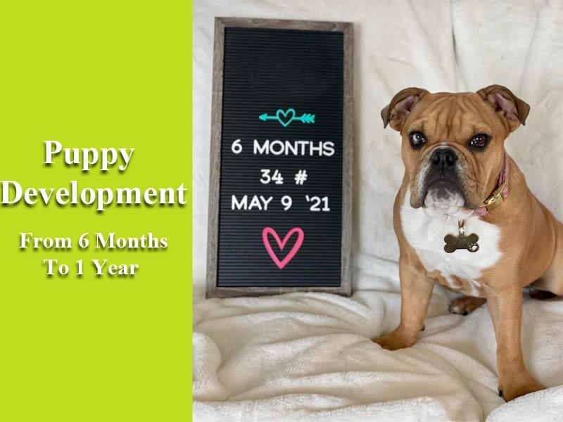 Puppy Development From 6 Months To 1 Year