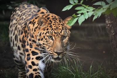 Mengenal Macan Tutul jawa Berdasarkan Ciri, Habitat, dan Jumlahnya