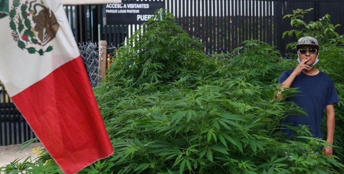 Fotos: Un verdadero Plantío de Marihuana frente al Senado de México