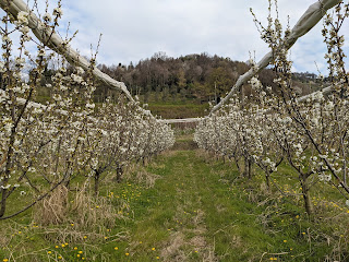 Rows of Prunus trees in the Valle d'Astino.