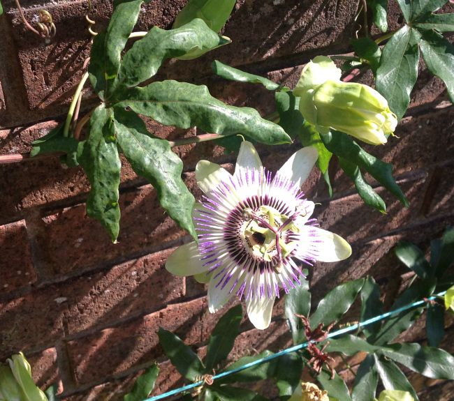 picture of a passion flower against ared brick wall