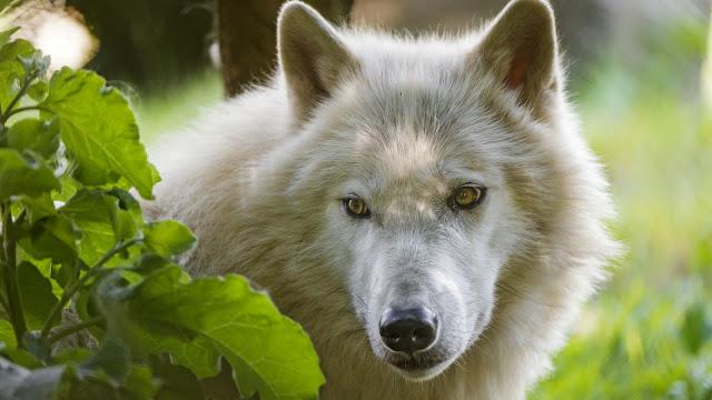 Cara del Lobo artico