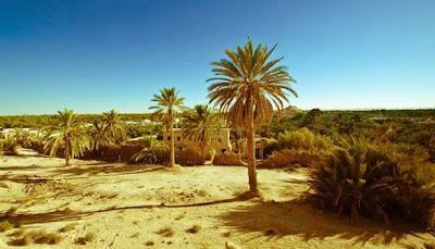 Date Palm in the Desert
