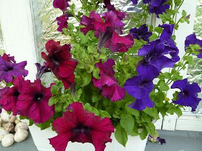 петуния цветет