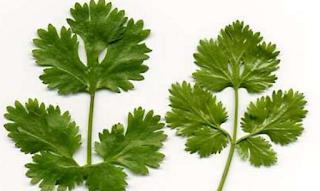 manfaat daun ketumbar untuk kesehatan anda , manfaat daun ketumbar