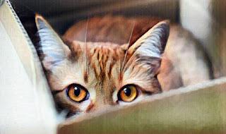 Gato escondido en una caja