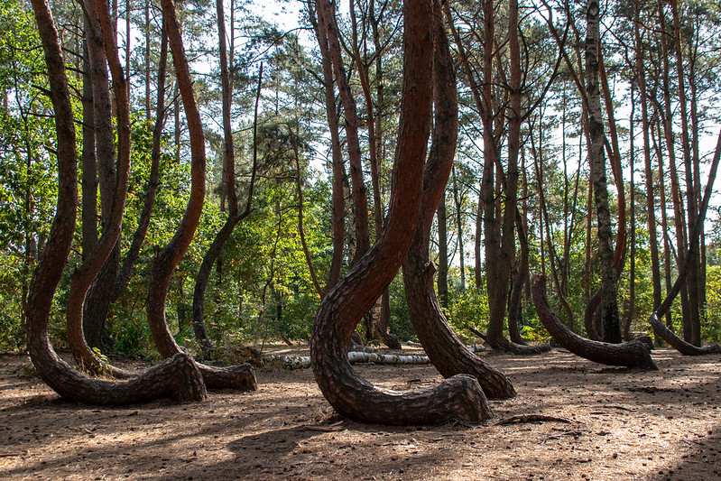 j shaped trees, crooked forest, crooked forest poland, the crooked forest, curved trees, crooked tree forest, sideways tree, where is the crooked forest, crooked forest in poland, curved tree, trees with curved trunks, bent trees in the forest, trees growing sideways,