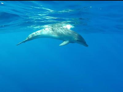 Gefangener Delfin Unterwasseransicht