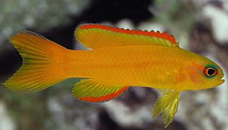 ikan hias mahal Golden Basslet
