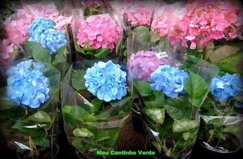 hortênsias sem flores