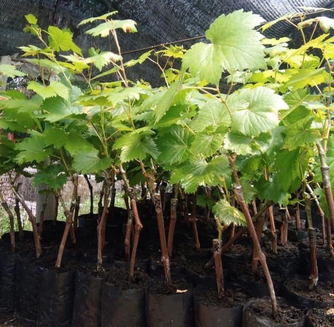 bibit anggur import nizina grafting Tanjungbalai