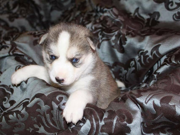What's Your Favorite Miniature Siberian Husky Eye Color?