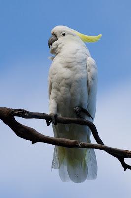 8 Top Yellow Parrots to Keep as Pets Custom sulfur cockatoo