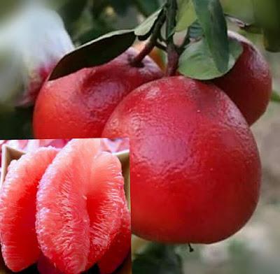 bali memiliki beberapa keunggulan dibandingkan dengan jeruk lain mulai dai ukurannya yang lebih besar, kalorinya yang lebih rendah