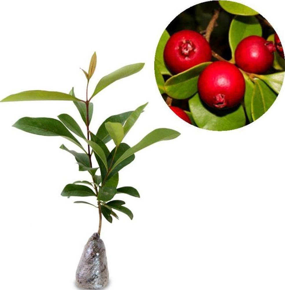 Bibit Tanaman Buah Stroberry Guava jambu Leci Cimahi