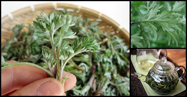 Mugwort (Damong Maria): A Woman's Natural Medicine Against Menstrual Problems