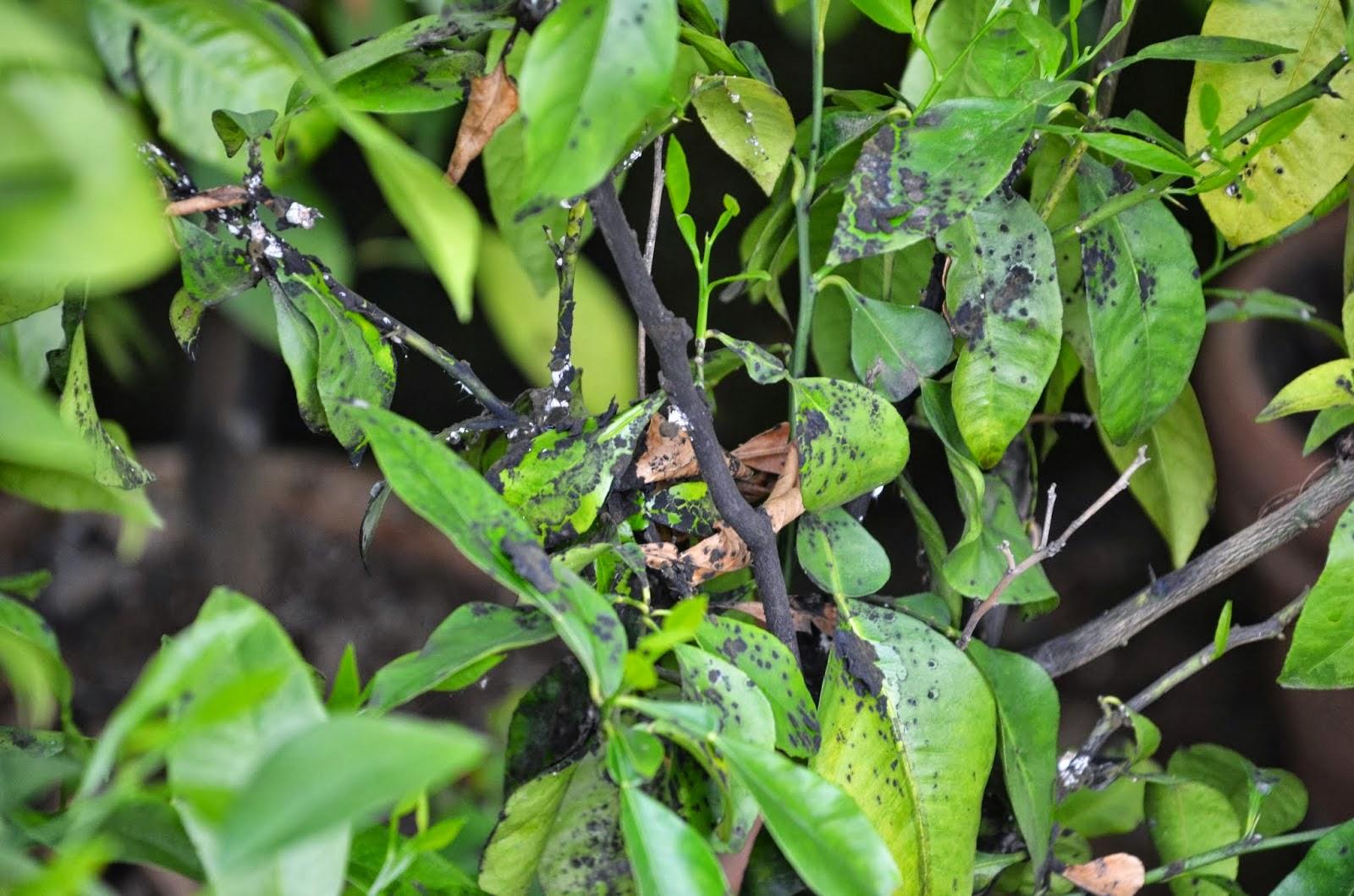 how to kill bugs on lemon tree