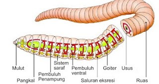 Sistem Pernapasan pada Cacing