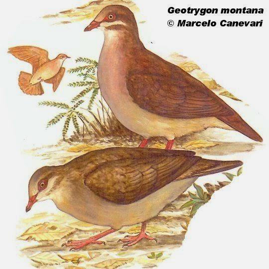 Paloma montera castaña, Geotrygon montana