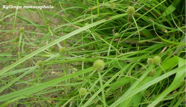 Kyllinga monocephala