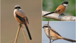 Burung Cendet - Pemilihan Indukan Burung Cendet Jantan dan Burung Cendet Betina - Penangkaran Burung Cendet