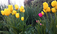 Multiple yellow tulips standing tall with a single violet tulip amidst them