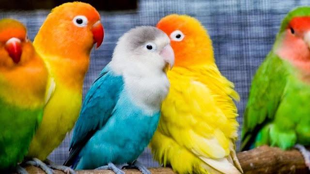 Tips Penting untuk Menjaga Lovebird