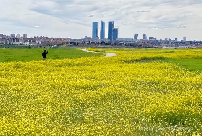 Madrid マドリードの高層ビルと黄色い春の花