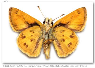 Mariposa saltarina dorada (Polites bivex)